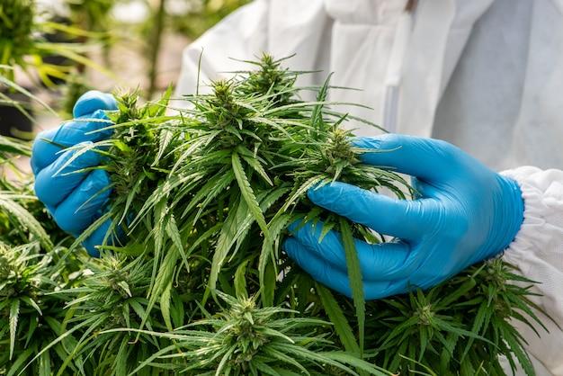 Marijuana medica nella cannabis fiore prima del raccolto concetto di medicina alternativa a base di erbe, olio di cbd, industria della medicina in una serra.