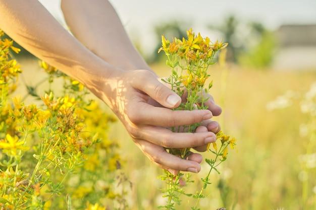 Erbe medicinali che crescono nel prato selvaggio. iperico di iperico in fiore giallo nella mano delle ragazze. erboristeria naturale, ecologia, stagione estiva