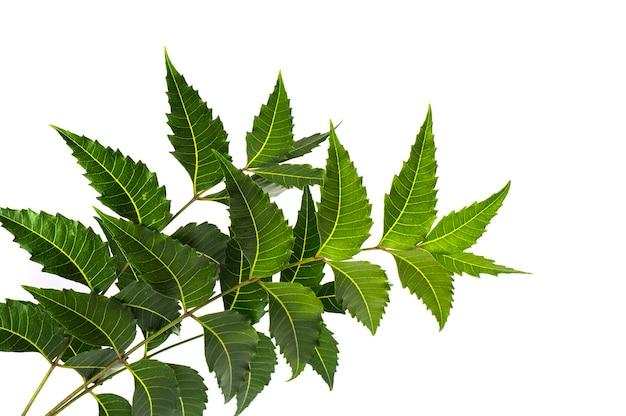 Foglia di neem medicinale su superficie bianca. azadirachta indica.