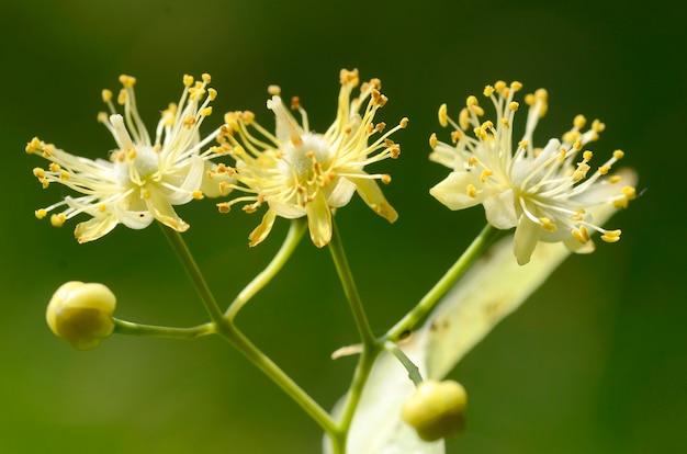 Piante medicinali: fiori di tiglio (tilia ãƒâ— europaea)