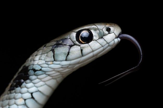 Serpente di erba mediterranea (natrix astreptophora)