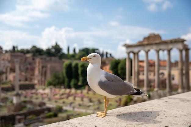 Gabbiano mediterraneo posti a sedere su pietre del foro romano a roma, italia. sfondo estivo con giornata di sole e cielo blu