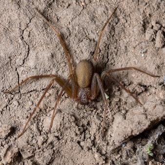 Il ragno mediterraneo recluso (loxosceles rufescens)