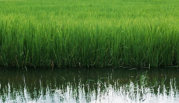 Risaie coltivate a medio termine sull'acqua