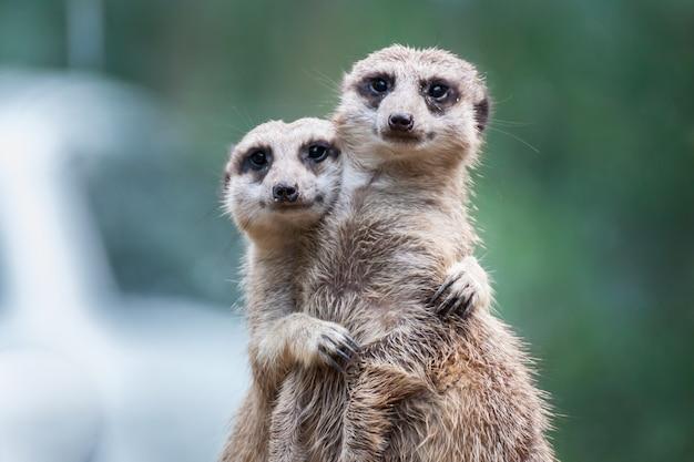 Amici di meerkat che si abbracciano e che mostrano amore