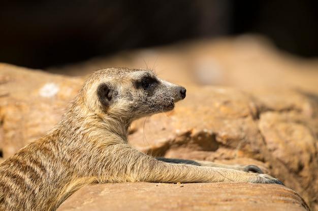 Meerkat sulla natura