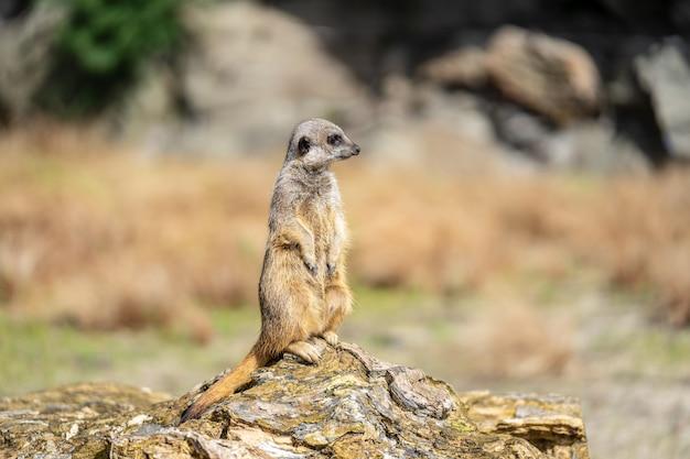 Il meerkat, suricata suricatta o suricate è un piccolo carnivoro della famiglia delle manguste. è l'unico membro del genere suricata