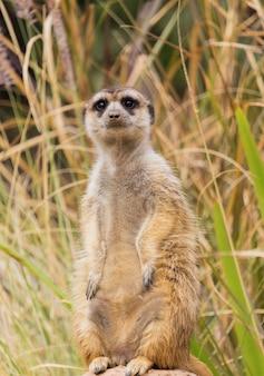 Meerkat o suricate in piedi su una roccia nella foresta