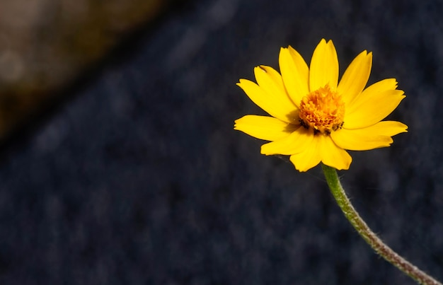 Melampodium butter daisy, mini fiore del sole, fiore giallo rudbeckia, heliopsis helianthoides, che fiorisce verso il cielo, a fuoco poco profondo