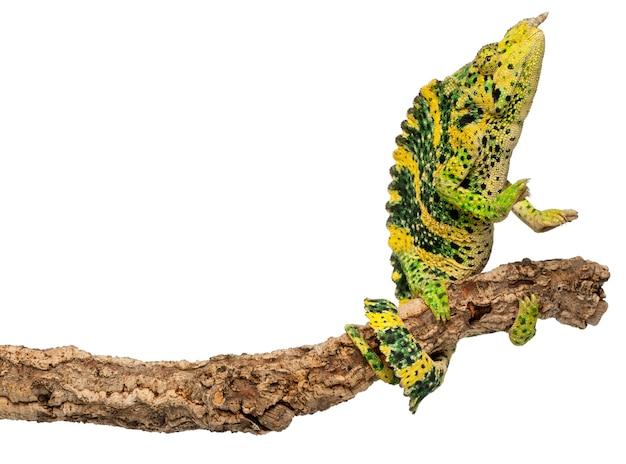 Camaleonte di meller e camaleonte gigante di un corno - chamaeleo melleri