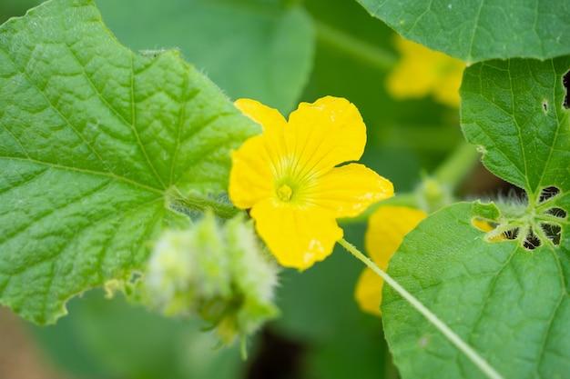 Colore giallo del fiore del melone con foglie verdi nel giardino della pianta organica
