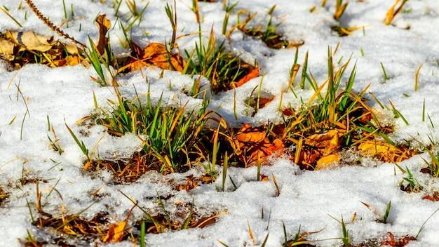 Neve che si scioglie nella foresta, erba secca e foglie sotto la neve bagnata