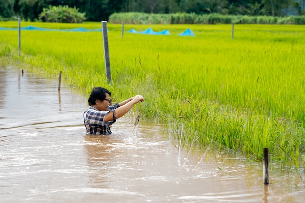 Gli uomini dell'agricoltore catturano il pesce nell'acqua di inondazione nella risaia