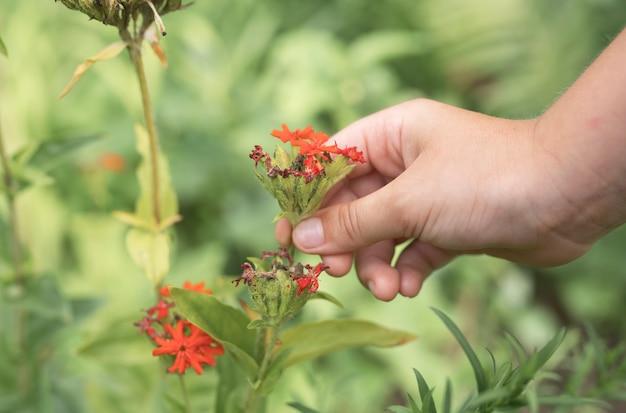 Gli uomini passano la mano che tiene il piccolo fiore rosso che cresce nel prato in estate