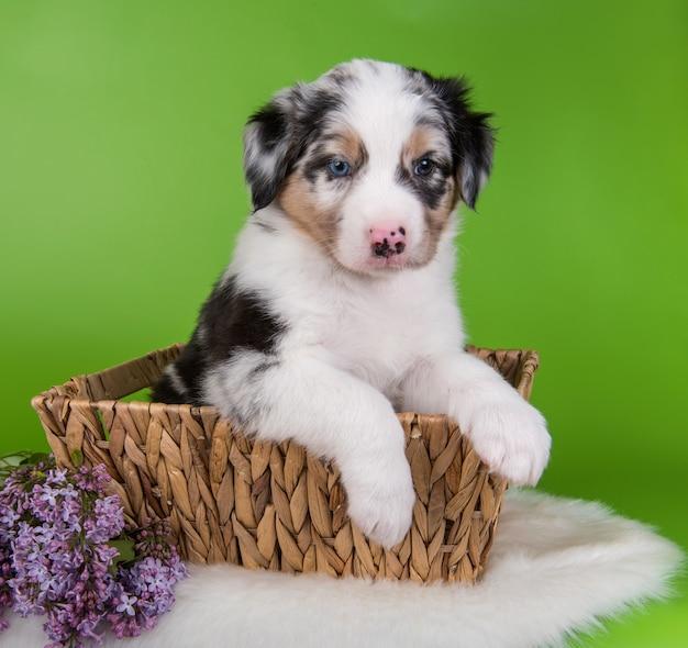 Ritratto di cucciolo di cane pastore australiano merle con punti di rame con gli occhi azzurri seduto all'interno di un cesto con fiori lilla