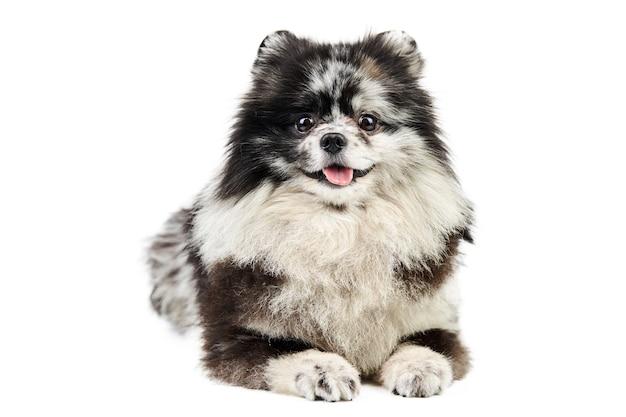 Merle pomeranian cucciolo spitz isolato