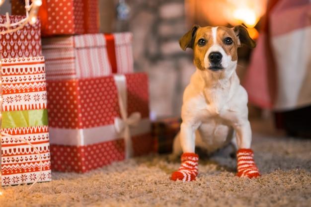 Buon natale. cane jack russell terrier a casa davanti al caminetto sotto l'albero di natale con calzini a strisce rosse e bianche.