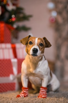 Buon natale. cane jack russell terrier a casa sotto l'albero di natale con calze a strisce rosse e bianche.