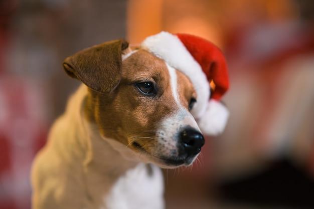 Buon natale. cane jack russell terrier in cappello di babbo natale a casa sotto l'albero di natale con calzini a strisce rosse e bianche.