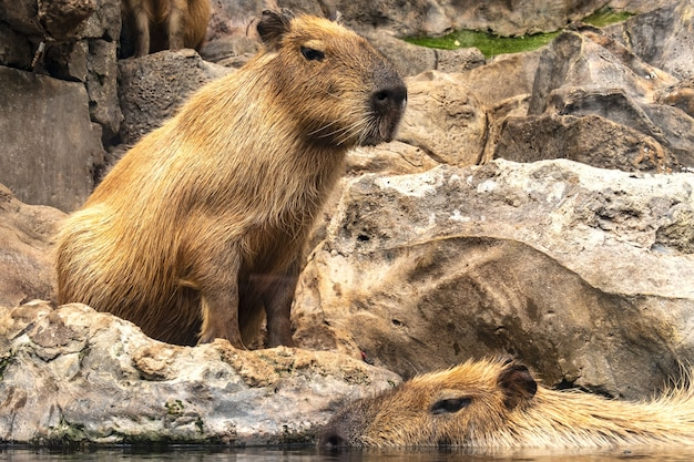 Scatto ipnotizzante di capibara a puerto de la cruz, tenerife