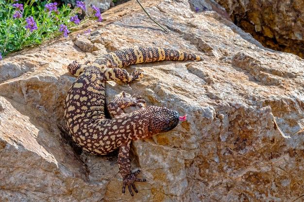 Mexican beaded lizard scendendo da un giardino masso