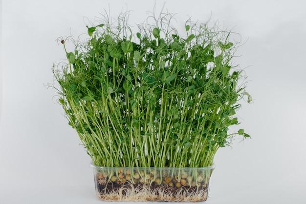 Primo piano dei germogli di pisello micro-verde