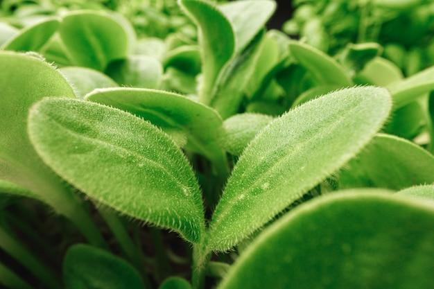 Micro germogli verdi foglie da vicino