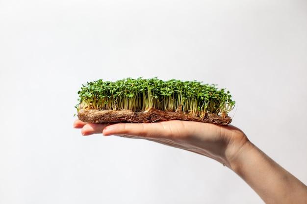 Micro-verdure di senape, rucola e altre piante in mano di una donna. germogli di senape in crescita in primo piano a casa. il concetto di cibo vegano e sano. semi germogliati, micro-verdure