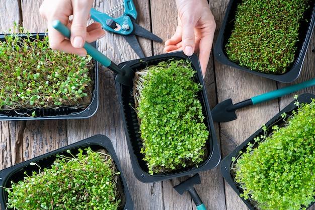 Microgreen in crescita. micro germogli verdi in vassoi su un tavolo in legno rustico.