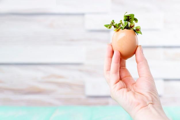Germogli microgreen in guscio d'uovo. una mano femminile tiene i microgreens in un guscio d'uovo. concetto rifiuti zero.