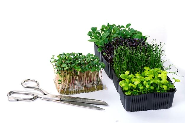 Germogli microgreen su superficie bianca e forbici