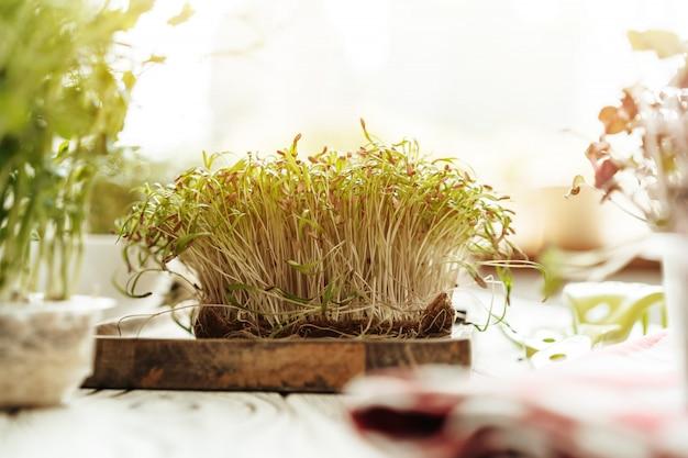 Germogli microgreen su tavola di legno in raggi di luce diurna