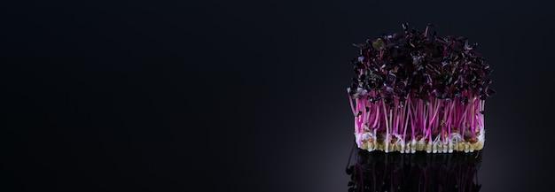 Microgreens di ravanello viola su sfondo nero con posto per il testo. micro verdi