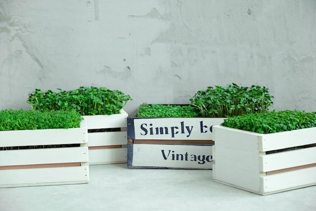 Microgreens in scatole di legno bianche.