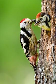 Picchio macchiato centrale che alimenta giovane pulcino