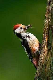 Picchio macchiato centrale che afferra sul tronco di albero illuminato dal sole in foresta