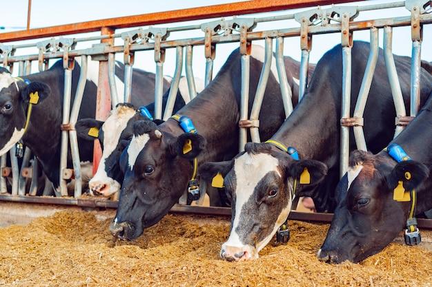 Mungitura delle mucche che mangiano fieno in una stalla all'aperto