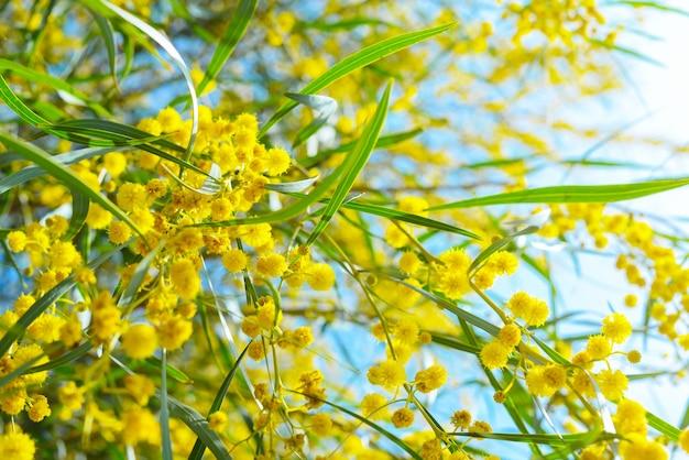 Rami e fiori di mimosa a fuoco e fuori fuoco Foto Premium
