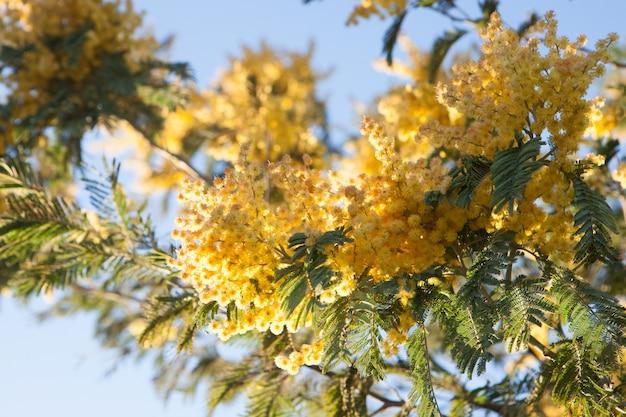 Albero di mimosa con fiori gialli