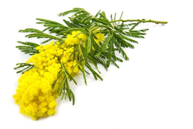 Mimosa, giorno delle donne