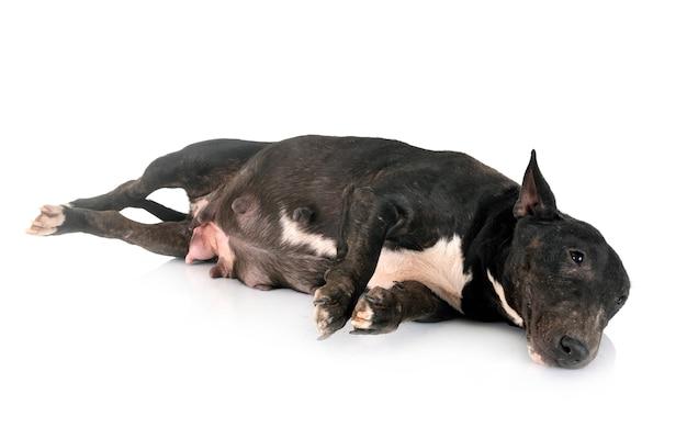 Bull terrier miniatura in studio Foto Premium
