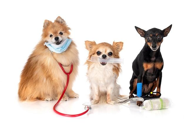 Pinscher miniatura, chihuahua e spitz davanti a sfondo bianco