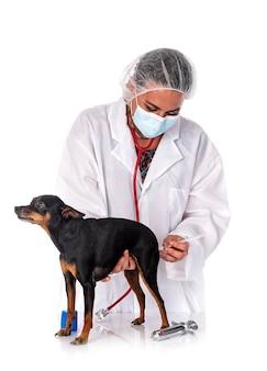 Pinscher in miniatura e veterinario