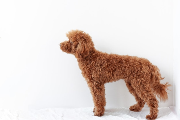 Un barboncino in miniatura si erge lateralmente in un supporto su uno sfondo bianco. il concetto di addestramento del cane da compagnia, cura della toelettatura.