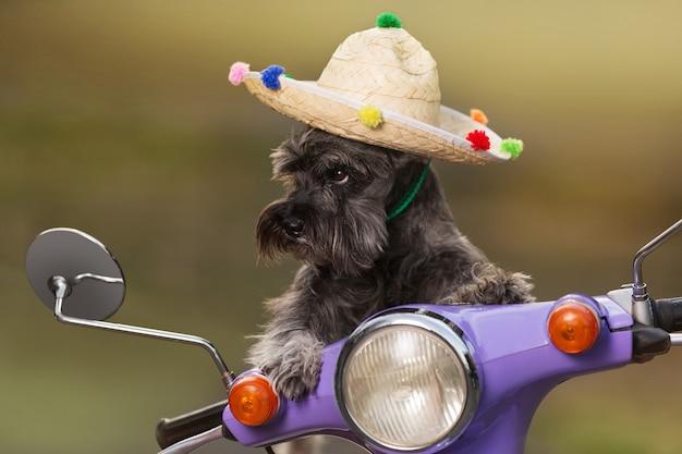 Miniature schnauzer cane, in cappello messicano, in sella a uno scooter, come se controlli, aspetto divertente, concetto di riposo, primi piani