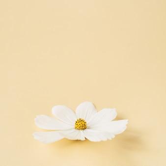 Concetto in stile minimale. fiore di camomilla margherita bianca contro giallo pallido