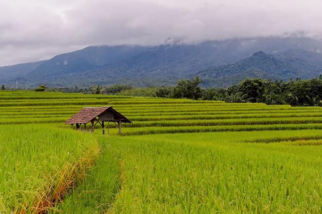 Foto minimalista di risaie con riso che inizia a ingiallire