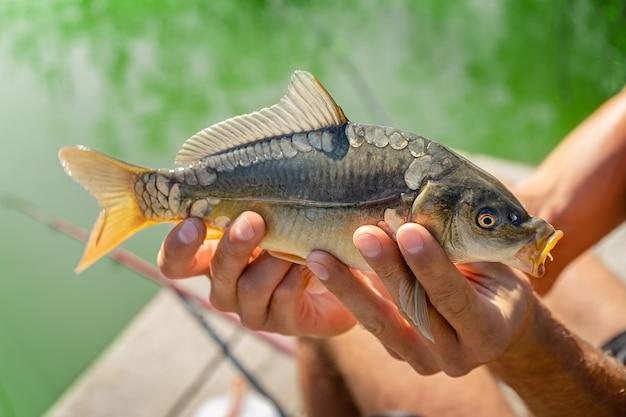 Pesca alla carpa a specchio sul lago. uomo che tiene il pesce catturato nelle mani o