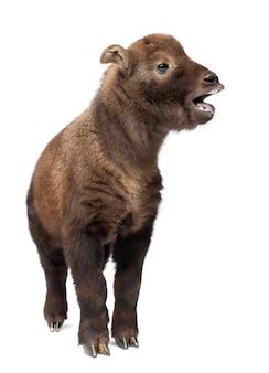 Mishmi takin, budorcas taxicolor taxicol, chiamato anche cattle chamois o gnu goat, 15 giorni di età, in piedi contro lo spazio bianco