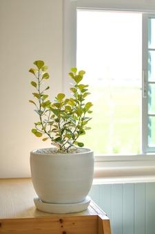 La pianta della gomma del vischio è un albero ornamentale che può essere piantato all'interno della casa
